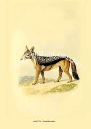 CAPE FOX - Canis Mesomelas